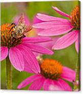 Bee On Coneflower Canvas Print