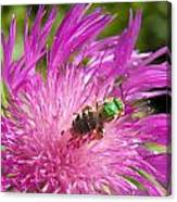 Bee On Corn Flower Canvas Print