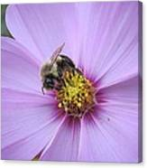 Bee On Cosmos Canvas Print