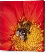 Bee On Dahlia - 2 Canvas Print