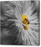 Bee On Daisy Flower Canvas Print
