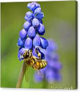 Bee On Grape Hyacinth Canvas Print