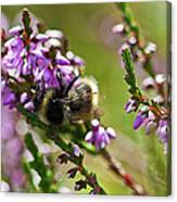 Bee On Heather Canvas Print