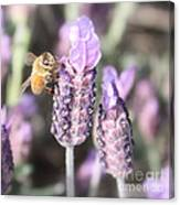 Bee On Lavender Square Canvas Print