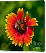 Bee On Orange Flower Canvas Print