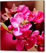 Bee On Pink Blossoms 031015ab Canvas Print