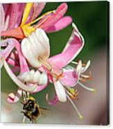 Bee On Pink Honeysuckle Canvas Print