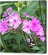Bee On Pink Phlox Canvas Print