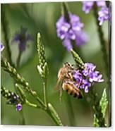 Bee On Purple Loosestrife  Canvas Print