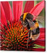 Bee On Red Coneflower 2 Canvas Print