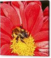 Bee On Red Dahlia Canvas Print