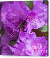 Bee On Rhododendrons Canvas Print