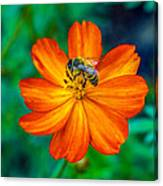 Bee On The Orange Cosmos Canvas Print