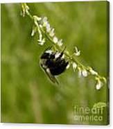 Bee On Wildflower Canvas Print