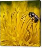 Bee Pollen Canvas Print