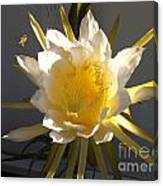 Bee Pollinating Dragon Fruit Blossom Canvas Print