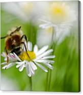 Bee The Daisy Canvas Print