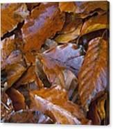 Beech (fagus Sp.) Leaves Canvas Print