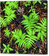 Beech Fern Colony Canvas Print