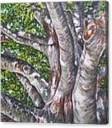 Beech Canvas Print