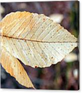Beech Leaf In Winter Canvas Print