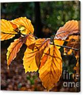 Beech Leaves In Winter Canvas Print