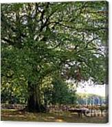 Beech Tree Britain Canvas Print