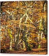 Beech Tree Group In Autumn Light Canvas Print