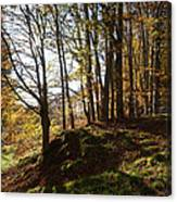 Beech Trees - Autumn Canvas Print