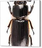 Beetle Aceraius Grandis Canvas Print