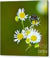 Beetle Life Canvas Print