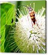 Beetle On Buttonbush Canvas Print