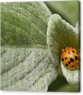 Beetle Pad Canvas Print