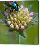 Beetle Sitting On Flower Canvas Print