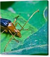 Beetle Sneeking Around Canvas Print