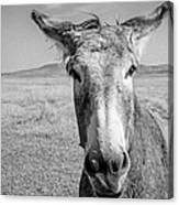 Begging Burro Canvas Print