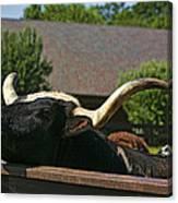 Begging Cow Canvas Print