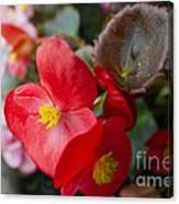 Begonia 20140706-1 Canvas Print