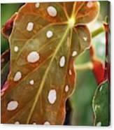 Begonia Maculata 'wightii' Canvas Print