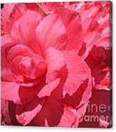 Begonia Named Non-stop Pink Canvas Print