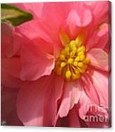 Begonia Named Nonstop Pink Canvas Print