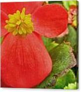 Begonia Volumia Canvas Print