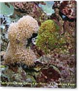 Beige And Green Star Corals Canvas Print