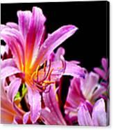 Belladonna Lilies Canvas Print