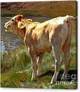 Bellowing Cow Canvas Print