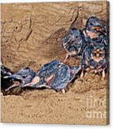 Belted Kingfisher Feeds Young Canvas Print