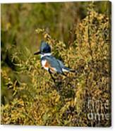 Belted Kingfisher Female Canvas Print