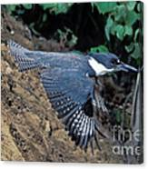 Belted Kingfisher Leaving Nest Canvas Print
