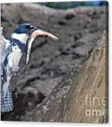 Belted Kingfisher With Prey Canvas Print