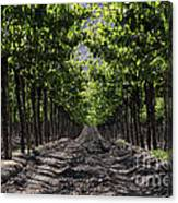 Beneath The Vines Canvas Print